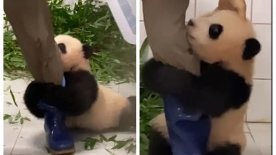 Urs panda, senzația internetului! S-a agătat de piciorul îngrijitorului ca să nu rămână singur